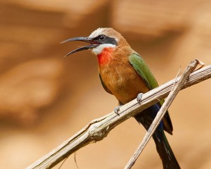 White-fronted_Bee_Eater