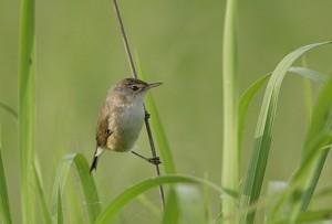 African-Reed-Warbler