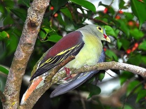 Thick-billed_Green_Pigeon