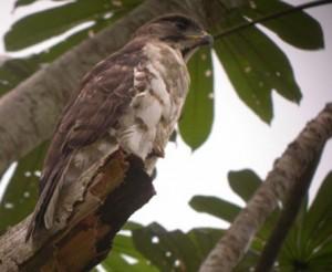 Gabon-Congo-Serpent-Eagle