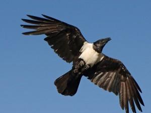 Pied_crow