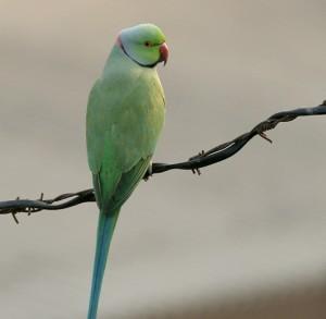 Rose-ringed_Parakeet_(Male)