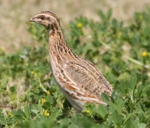 common-quail