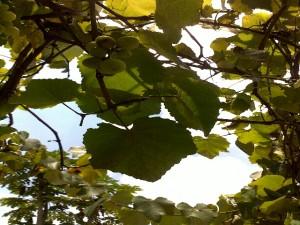 Grapes-Kitweonline