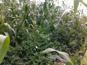 Maize and groundnuts field_kitweonline