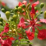 Flamboyant tree in flower