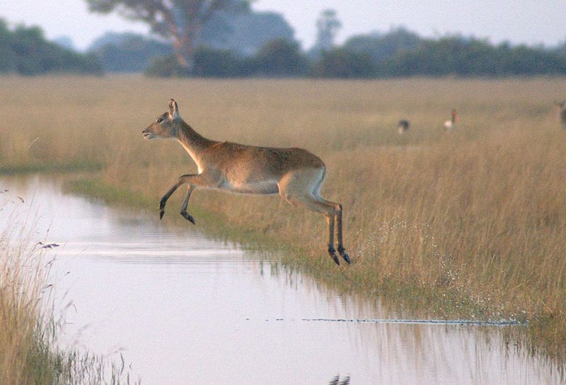 Female-Antelope-Okavango