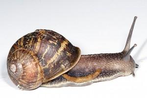 640px-Garden_snail_defecating
