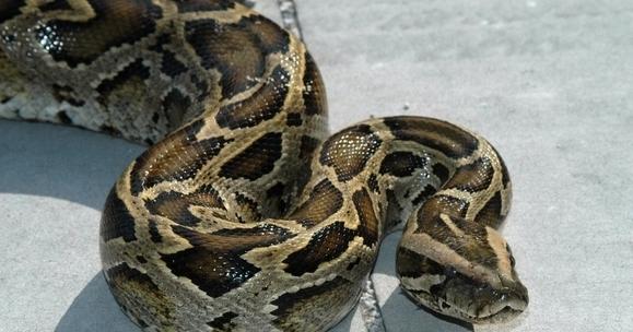 Python_sebae - Lusato