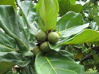 Musuku unripe fruit_Uapaca_kirkiana_1