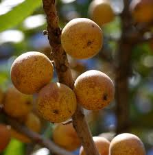 Musuku fruit_Uapaca kirkiana