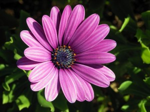South African daisy -Osteospermum_ecklonis
