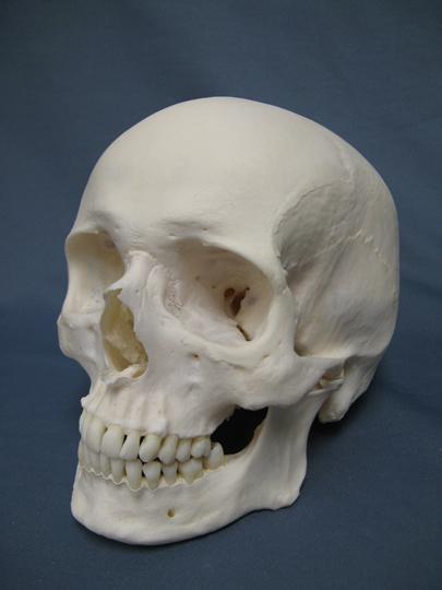 Human_Skull